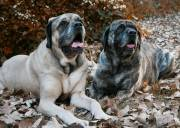 Mastiffs outside