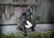 French bulldog photography