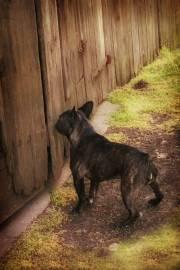 Brendle french bulldog