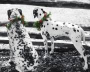 Dalmatian photography